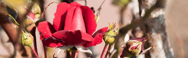 rote-rose_650x200